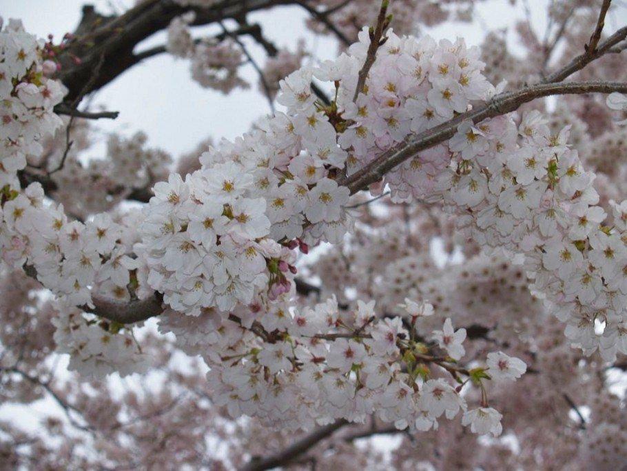cerejeira3