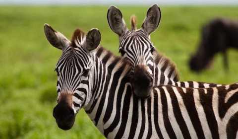 Sonhar com Zebra