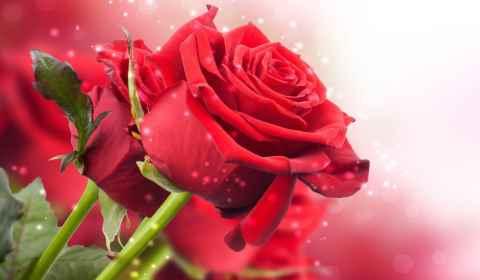 Significado e simbolismo espiritual das rosas