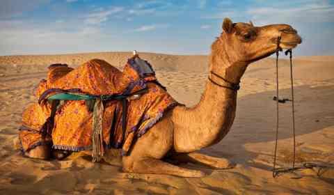 Sonhar com camelo